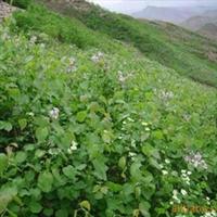 供应紫丁香 园林绿化苗 绿化工程苗木  乔木 灌木