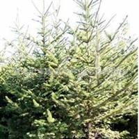 供应法桐、造型法桐 云杉 垂柳等优质绿化乔木