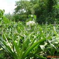 供应大量出售文殊兰(湿地滨海植物)