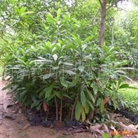 供应耐盐碱湿地植物海檬�苗木