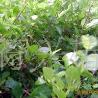 销售湿地耐盐碱半红树林植物钝叶臭黄荆(苗木)