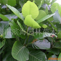 常年供应耐盐碱湿地绿化苗木抗风桐(麻枫桐)