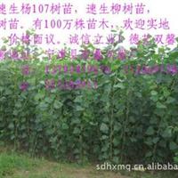批发2012年优质172木柳树苗