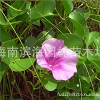 常年大量供应耐盐碱湿地植物马鞍莲苗木