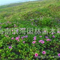 批量销售湿地耐盐碱植物马鞍藤苗木(红树林)