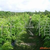 供应销售10万株海南花梨木(袋苗)