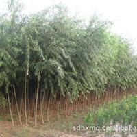 批发绿化苗木 优质速生柳树苗172