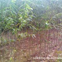 销售绿化苗木 优质速生杨树苗木107  速生柳树苗木