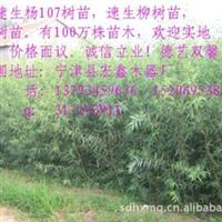 批发2012年优质柳树苗   鲁北苗木是园林绿化首选