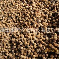 优价供应2012年新采杨梅种子