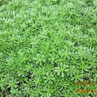 佛甲草屋顶 楼顶绿化首选植物佛甲草供应