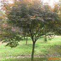 大量供应10公分红枫移栽全冠红枫精品