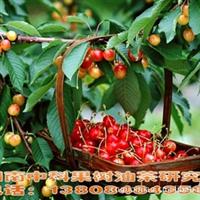 农村致富种樱桃,樱桃树新品种---南方紫珍珠樱桃果树深夜草莓视频app下载