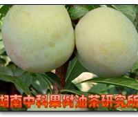 供应美国杏李、味馨、味帝等果树深夜草莓视频app下载
