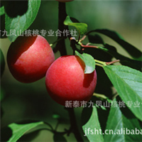 供应山东李子树苗,杏李树苗,早熟李子深夜草莓视频app下载,布朗树苗。