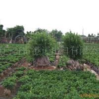 供应漳州市漳浦县人参榕树盆景