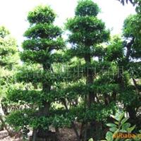 供应漳浦沙西树桩榕树盆景