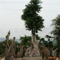 供应福建省漳州市古雷港树桩榕树大景