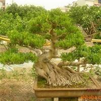 限量批发福建省漳州市高档榕树盆景