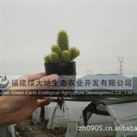 金手指 仙人球/仙人掌 园艺花卉 盆栽/盆景