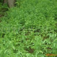 巴东县三峡苗木批发供应柳杉苗