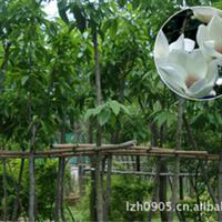 园林绿化苗木【白玉兰】苗木 落叶乔木 国家级重点保护植物
