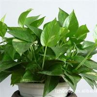 园林绿化苗木【绿萝】净化空气中的苯、三氯乙烯和甲醛