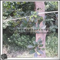 小叶榕 园林苗木 盆栽移植 风景用树 胸径15公分
