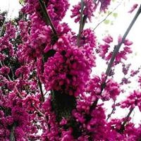 批发供应紫荆种子-箩筐树、羊蹄甲、满条红