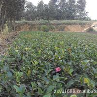 【供应】茶梅小苗高30cm,1.5元每株。茶梅球及茶梅种苗