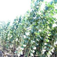 批发苹果树