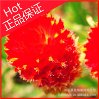 一二年生花卉【千日红】美容养颜止咳化痰