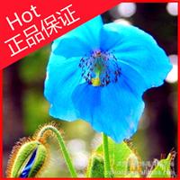 一二年生花卉【虞美人】民间称为:丽春花、锦被花
