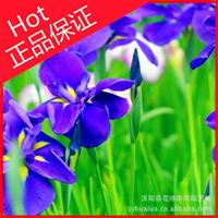 一二年生花卉【蝴蝶花鸢尾花】宿根花卉 绿化苗木