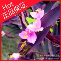 一二年生花卉【紫罗兰】草桂花、四桃克、草紫罗兰