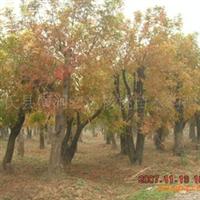 黄连木,黄连木苗,河南黄连木,黄连木价格;