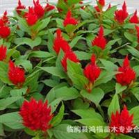 大量供应鸡冠花,一串红,万寿菊,牵牛等时令草花