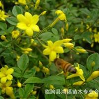 鸿福苗木批发迎春(上盆)。连翘,金叶女贞,月季等绿化苗木