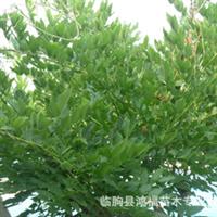 自家出售紫藤树,木槿树,枸杞树,灵霄,女贞球等绿化苗木