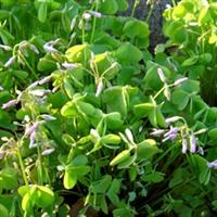 出售红花酢浆草,石竹子,金鸡菊,黑心菊,鸢尾等绿化苗木