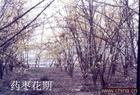 供应山茱萸树,枣皮,药枣 苗