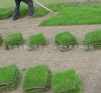 进口草种混播草籽多年生黑麦草帅旗价格