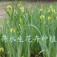 供芦苇、菖蒲、金鱼藻、睡莲碗莲等各种水生花卉