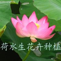 苗圃直销 批发睡莲 荷花 水生植物 水生花卉
