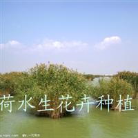 供应湿地绿化种苗芦苇苗