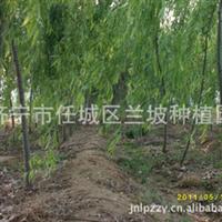常年大量供应各种法桐 苗木 白蜡