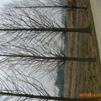 供应湖南优质绿化苗木    精品水杉