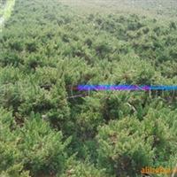 河南潢川园林绿化花木苗木供应地柏