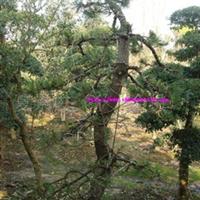 河南潢川园林绿化花木苗木供应造型黑松