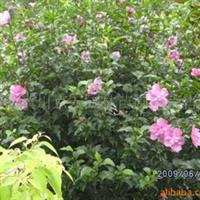 河南潢川园林绿化花木苗木供应木槿